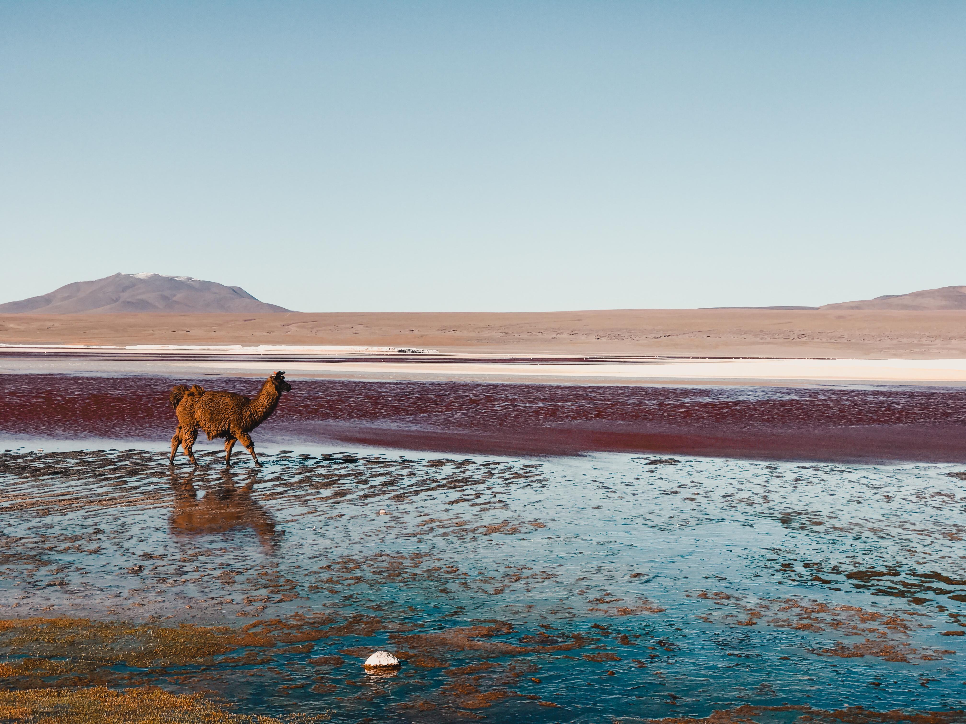 Llama in red lake