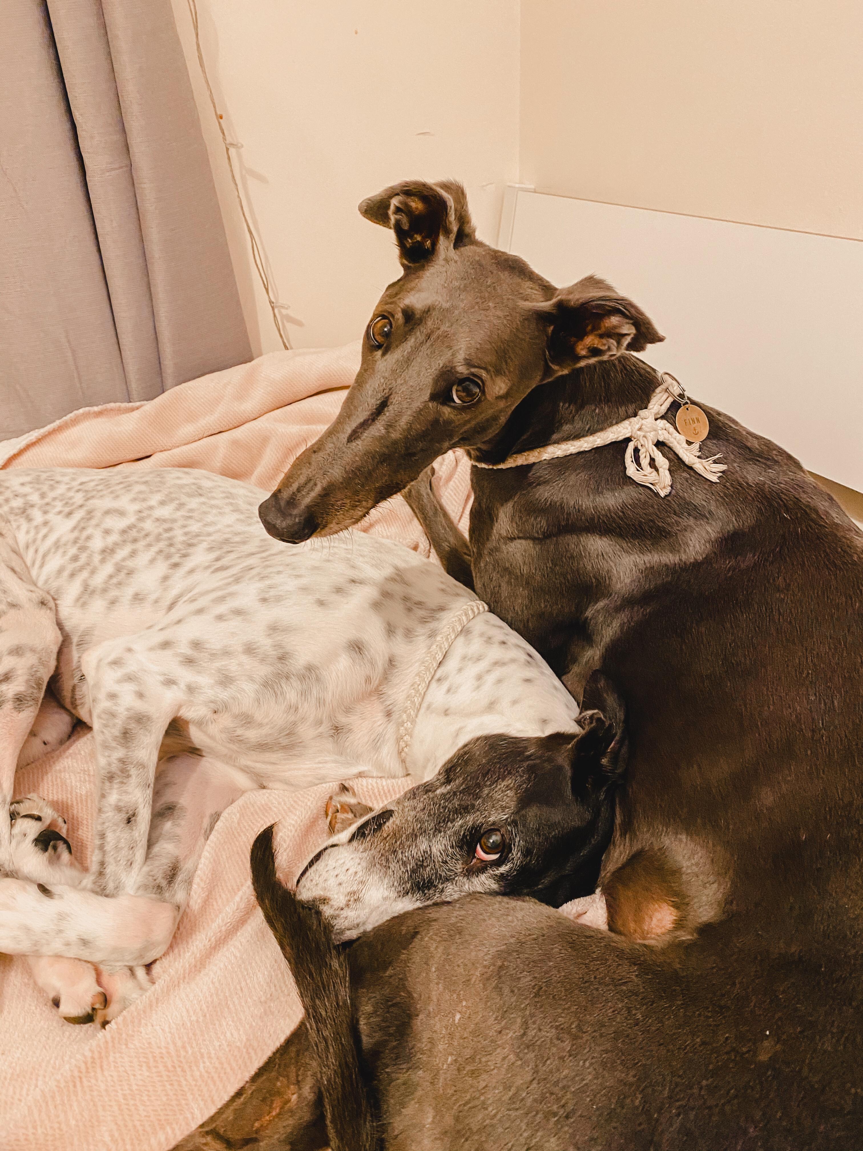 sleeping on bed greyhound pet