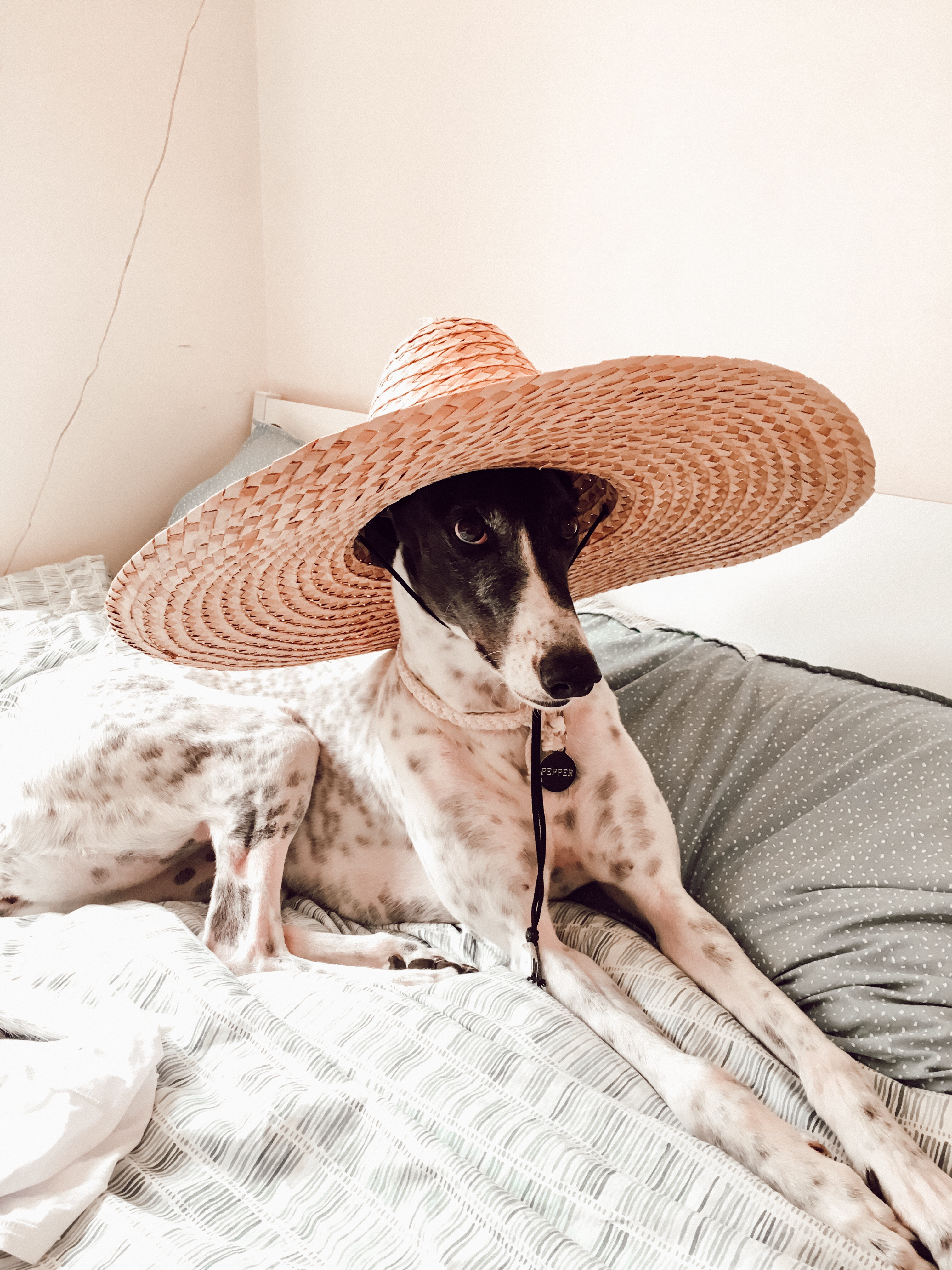 cute greyhound with hat