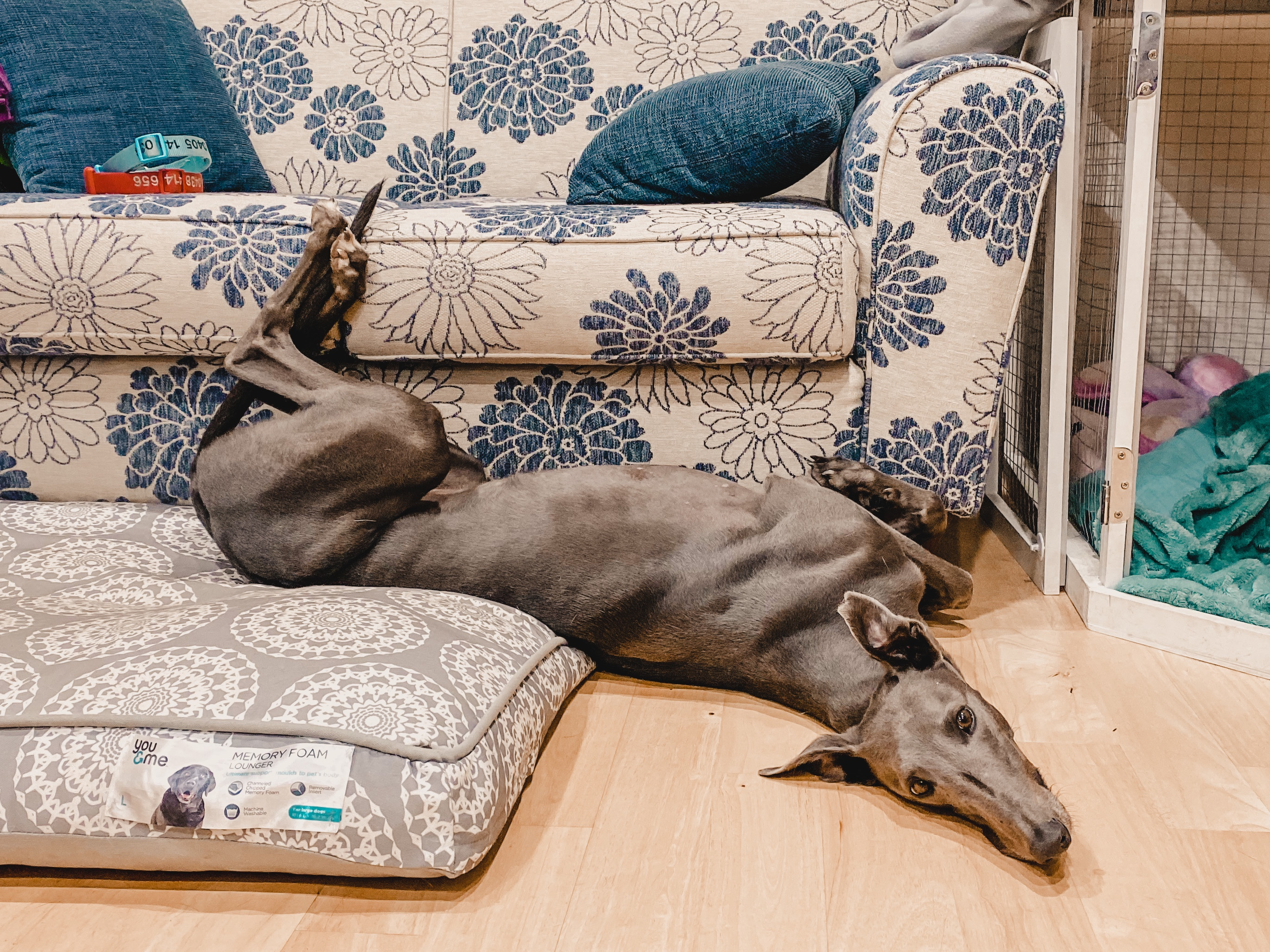 greyhound lying on floor